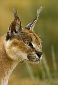 African lynx...this may be the Caracal shown above.