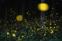 Timelapse photography of fireflies.