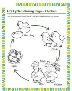 life cycle bird coloring page animal life cycle