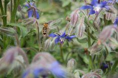 Bienenweide: Herbstnahrung für Bienen & Hummeln