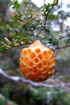 This mushroom is awesome!! Cyttaria gunnii- saw these in Tierra del Fuego  -Would be cool as a lamp shade...