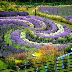 -- The Yorkshire Lavender Garden --