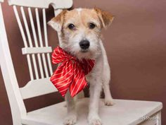Houston~JENNY - ID My name is JENNY. I am a spayed female, white and brown Jack russell mix. The shelter staff think I am about 4 years o. Spca Adoption, Animal Adoption, Animal Rescue, Rescue Dogs, Pet Dogs, Dogs And Puppies, Homeless Dogs, Earth Angels, Kittens