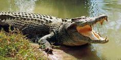 Crocodile cocodrilo