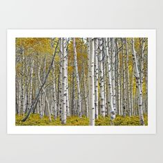 Birch Tree Grove in Autumn Art Print