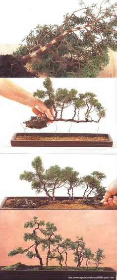 Bonsai - Ikadabuki ... #Bonsai #Art #BonzaiArt #Gardening