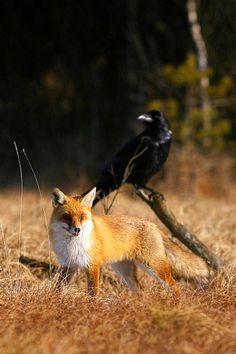 💕 The Fabulous Fox 💕♥ and raven
