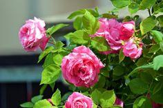 Cómo cultivar rosales con la ayuda de una patata - Notas - La Bioguía