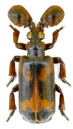 Platyrhopalus westwoodii Saunders, 1838