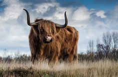 Highland cattle. Long hair cow. Highland bull. Animal poster. Nature photography. Instant download, poster nature, nature photo by TheHabitatery on Etsy https://www.etsy.com/listing/552494659/highland-cattle-long-hair-cow-highland