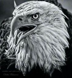 Black n white bald eagle