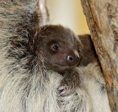 Baby Sloth! #Faultiercontent