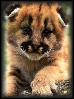 Darling Cougar Cub; That Face is Something Else.                                                                                                                                                                                 More