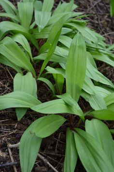"""Wild Leek prefers typical woodland conditions: medium wet to medium dry soil and full to partial shade. It has reddish stalks reaching heights of 8"""" in the spring. The early foliage dies back late spring before the white to creamy-white flowers appear in June or July."""