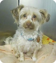 Oak Ridge, NJ - Yorkie, Yorkshire Terrier/Silky Terrier Mix. Meet Hula, a dog for adoption. http://www.adoptapet.com/pet/12527152-oak-ridge-new-jersey-yorkie-yorkshire-terrier-mix