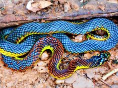 I see your Brazilian Rainbow Boa and raise you the rare Brazilian Buriti snake (Cobra de Buriti) Pretty Snakes, Cool Snakes, Spiders And Snakes, Small Snakes, Colorful Snakes, Beautiful Snakes, Beautiful Creatures, Animals Beautiful, Brazilian Rainbow Boa