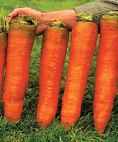 100 piece Seeds Carrots Krasnyy Velikan - Red Giant Organic Russian Heirloom Vegetable