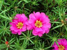 Nossa Editora de Jardinagem, a Marcia Nassrallah começou esta série falando só sobre plantas fáceis de cuidar! A primeira foi a Flor do Guarujá e agora ela vai falar sobre as lindinhas das Onze Horas.Veja só como é fácil ter um jardim florido em casa!