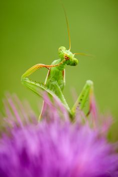 Whom would I eat next? by Libor Vaicenbacher on Cool Insects, Flying Insects, Bugs And Insects, Animals Of The World, Animals And Pets, Funny Animals, Prey Mantis, Mantis Religiosa, Animal Action