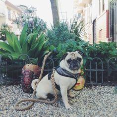 Garden Statue Pug. #dailypug #pugclubusa #pug #pugsofinstagram # .