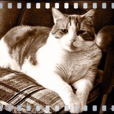 Cat portrait - Sepia