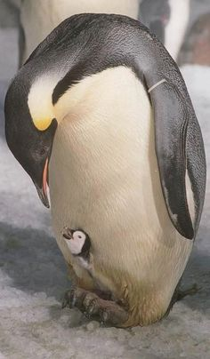 An emperor penguin tending his newly hatched chick at Sea World in San Diego (1995) • photo: Sea World / Associated Press