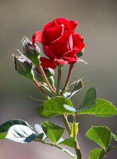 Beautiful Rose Flowers, Beautiful Flowers Wallpapers, Big Flowers, Exotic Flowers, Amazing Flowers, Rose Flower Pictures, Hd Rose, Rose Flower Wallpaper, Types Of Roses