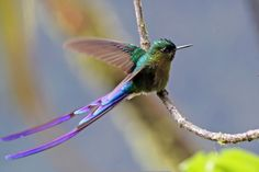 Violet-tailed Sylph (Aglaiocercus coelestis) by DragonSpeed, via Flickr