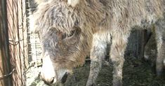 This Donkey Was Thrown Into A Wolf Cage As Food. What Happened Instead Is Unthinkable…
