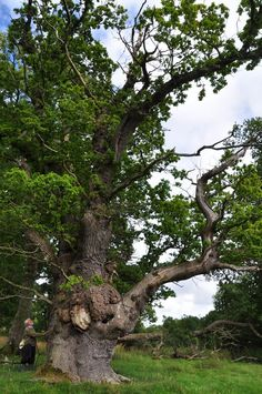 This majestic oak in mid Wales has just been named the UK's Tree of the Year - Wales Online Big Tree, Old Trees, Unique Trees, Nature Tree, Willow Tree, Winter Trees, Photo Tree, Trees To Plant, Nature