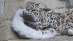 Snow leopard cub and tail.