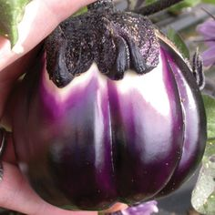 "Prosperosa Eggplant. 75 days. 15"" apart, grows 30"" tall. Full Sun. Location: Container on front porch, deck; In ground, raised garden (?)  Sow Indoors: Mid Feb.   A knock-out of an eggplant! This Italian heirloom forms a gorgeous, deep purple fruit with a pleated top that shows just a touch of cream color peeking out from the stem end. The 4-5 inch fruit are meaty and mild flavored with a texture. Eggplant Plant, Eggplant Seeds, Eggplant Dishes, Vegetable Garden, Garden Plants, Purple Fruit, Seed Catalogs, Farm Gardens, Deep Purple"