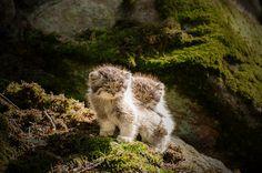 Otocolobus manul pallas's cat_2 | Nordens ark- | Micael Carlsson | Flickr