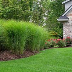 Miscanthus gracillimus is a versatile ornamental grass. Wachsende Meter groß, ich … – Garten DIY Miscanthus gracillimus is a versatile ornamental grass. Growing feet tall, I … – - Privacy Landscaping, Landscaping Tips, Front Yard Landscaping, Privacy Shrubs, Modern Landscaping, Landscaping With Grasses, Corner Landscaping Ideas, Front Yard Hedges, Landscaping Around House