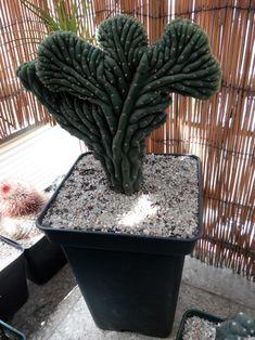 echinopsis pachanoi crestado
