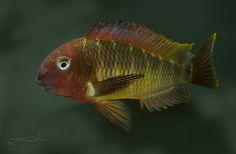 """Tropheus moorii """"Red Namansi"""""""