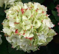 French Hydrangea 'Magical Jade' (Hydrangea macrophylla)
