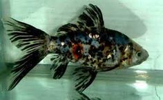A Beautifull colored Gold Fish Shubunkin Goldfish, Freshwater Aquarium Fish, Ponds Backyard, Tropical Fish, Marine Life, Betta, Fish Tank, Under The Sea, Aquarium Fish