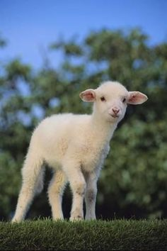 Photographic Print: Whitefaced Lamb in the Pasture by DLILLC : 24x16in