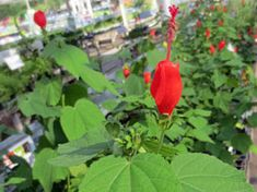 Tough, native shrubs that bloom aren't only for sunny spots. Shade-tolerant species like Turk's Cap (Malvaviscus drummondii) provide important nectar for native hummingbirds and insects.