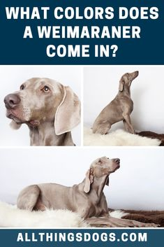 There aren't many Weimaraner colors, as the only recognized version is a very distinctive short, silver grey coat. They must be distinctively short haired and grey, otherwise they are not accepted by the AKC for registration. Read on for more details. Black Dogs, Medium Sized Dogs, Weimaraner, Long Legs, Dog Owners, Dog Breeds, Pup, Colors, Grey