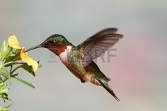 hummingbird flowers: Male Ruby-throated Hummingbird (archilochus colubris) in flight with a yellow flower and a colorful background Stock Photo