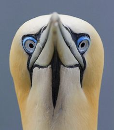 northern gannet    (photo by sparky2000)