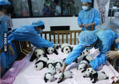 Best job in the world. Love #pandas