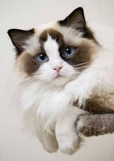 I love you! #ragdollcatbig