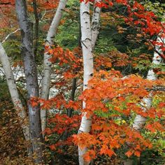 Birches and Red Maples, New Hampshire
