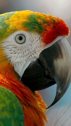 707 Best Parrot Images Parakeets Beautiful Birds Exotic Birds