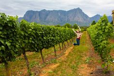 South Africa's Finest: Wine tasting in Stellenbosch vineyards South African Wine, Visit South Africa, Park City, Wine Country, Cape Town, Wine Tasting, Places To See, National Parks, Outdoor