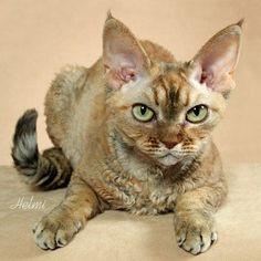 Devon Rex cat looks like Rachel
