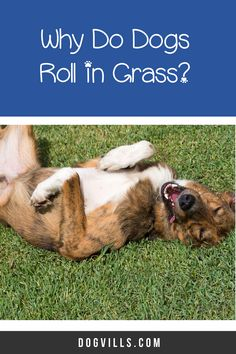 Why do dogs roll in the grass? Is it normal or something to worry about? Read on to find out the answers to this odd dog behavior. What You Can Do, How To Find Out, Snap Out Of It, Mental Health Problems, Enjoying The Sun, Dog Behavior, Dog Owners, Your Dog